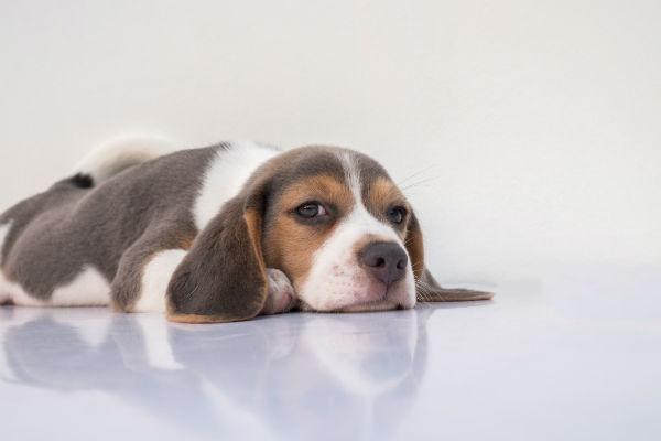 dog prednisone side effects lethargy