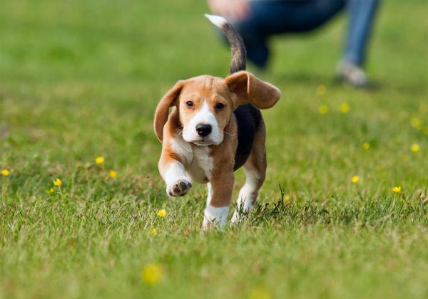 beagle in grass