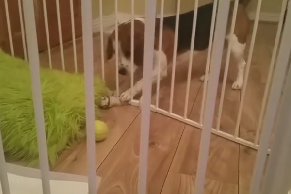 beagle retrieves bone