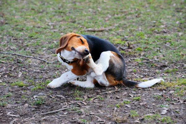 beagle_scratching_.jpg