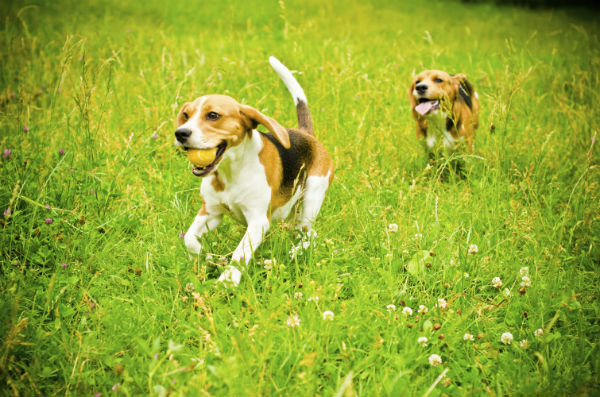beagles running in grass