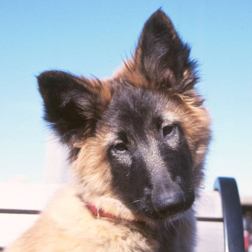 [belgian tervuren cute puppies]
