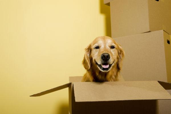golden retriever in box