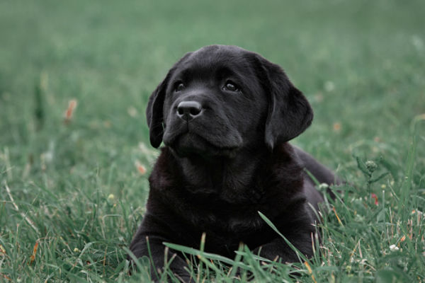 [black lab cute puppies]