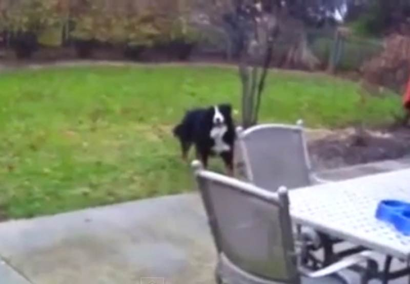 Bernese Mountain Dog has surprise in his mouth