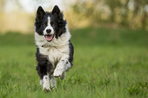 border_collie_chasing