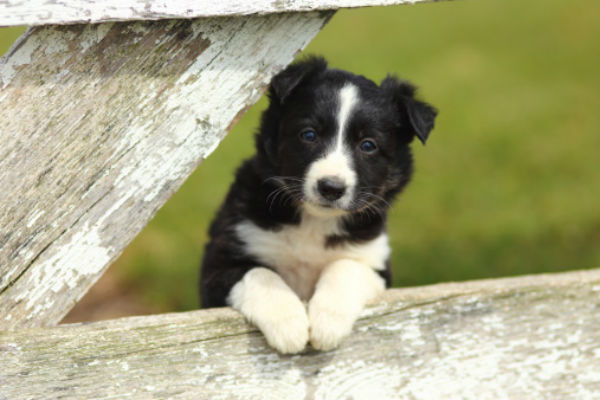[border collie cute puppies]