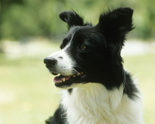 border collie ears up