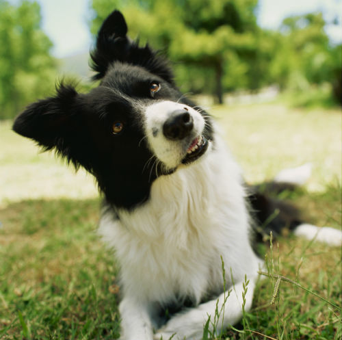 border collie head tilt edit