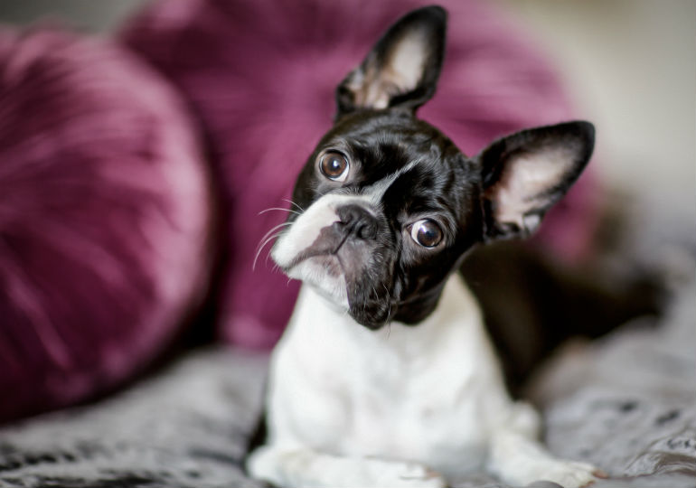 boston terrier header