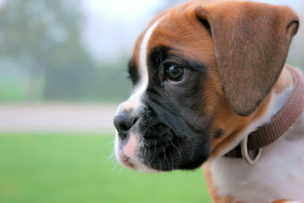Black Boxer Dog Breed