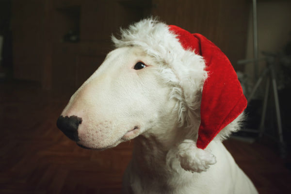 bull terrier holiday