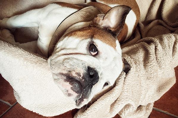 bulldog-giving-shade