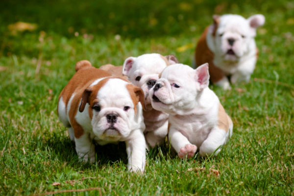50 cute puppies youll have to see to believe american kennel club its a bulldog puppy party socialization with other dogs and humans is an essential part of a pups development voltagebd Image collections
