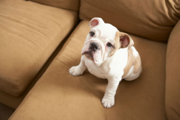 bulldog_on_couch