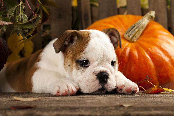 bulldog pumpkin