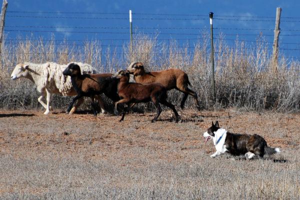 cardigan welsh corgi herding