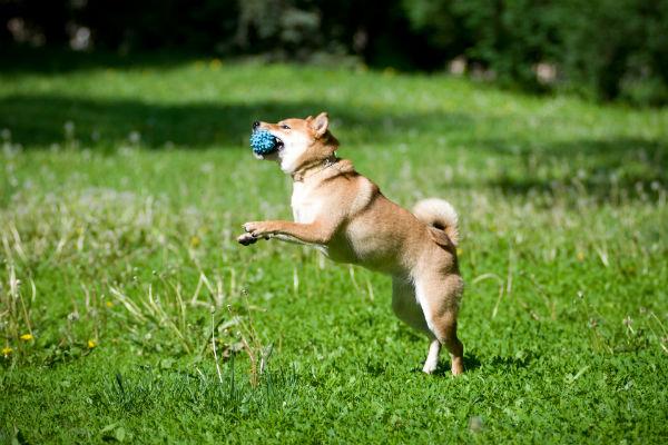 shiba inu catching ball