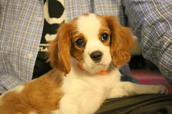 cav puppy