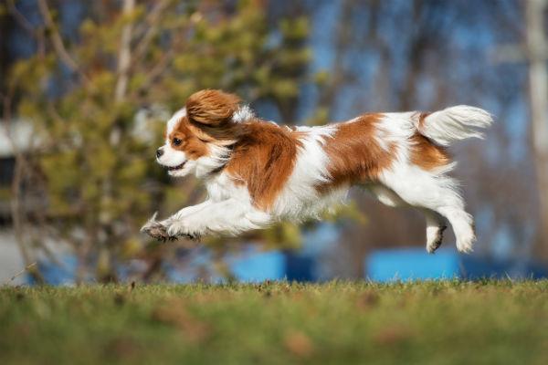 cavalier puppy running