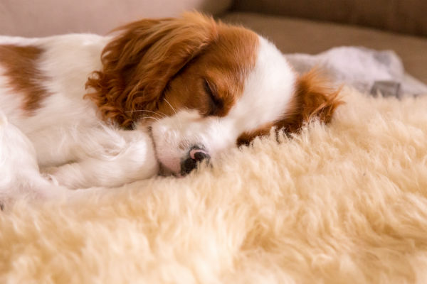 10 things only a cavalier king charles spaniel owner will understand american kennel club. Black Bedroom Furniture Sets. Home Design Ideas