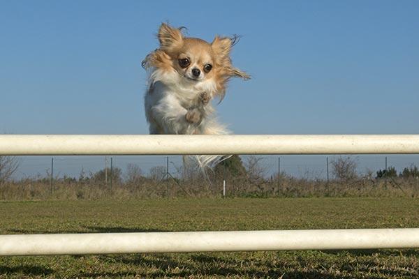 chihuahua-agility
