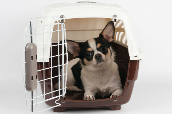 chihuahua in carrier