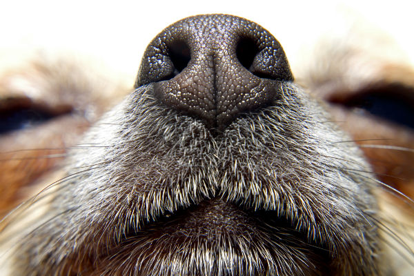 Why Is My Dog's Nose Dry? – American Kennel Club