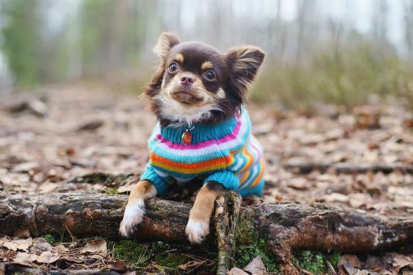 chihuahua_sweater_
