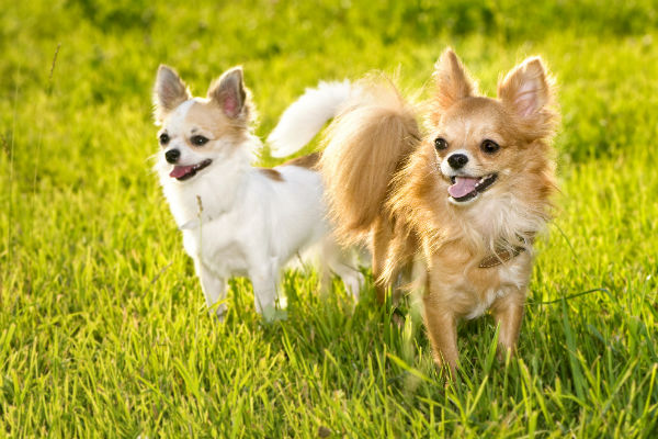 chihuahuas_in_sun
