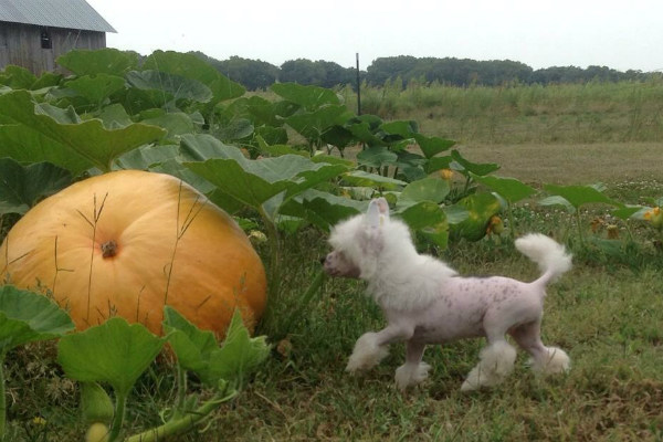 chinese crested pumpkin
