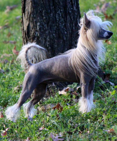 chinese crested standing