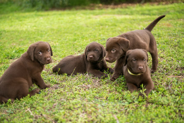 choc lab pups