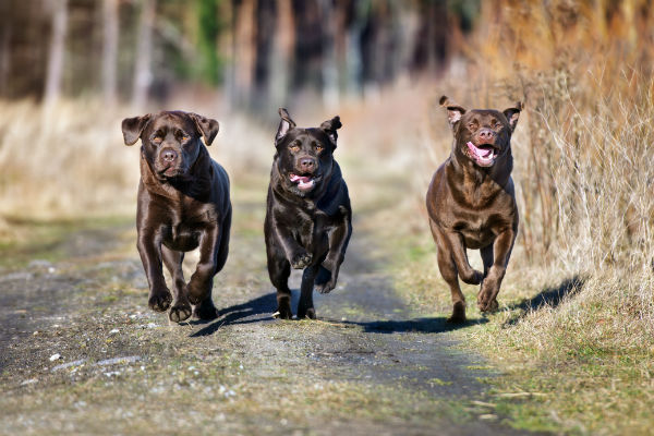 chocolate labs running