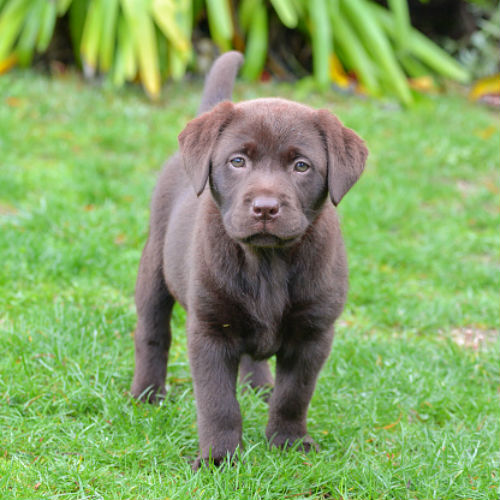 chocolate lab cute puppies