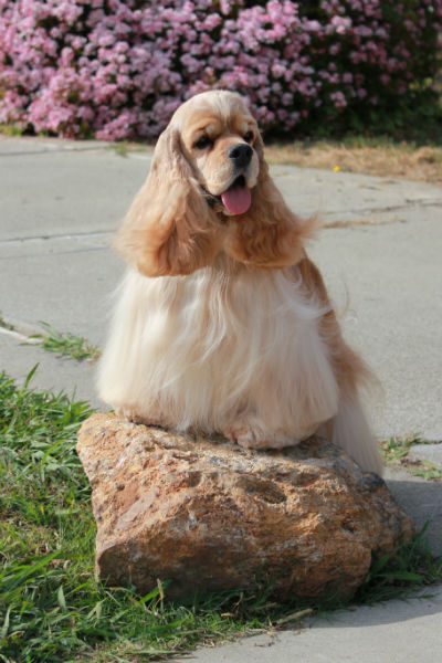 cocker spaniel on a rock