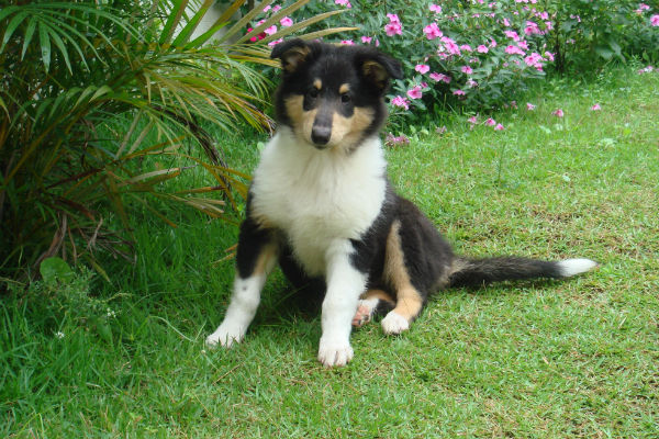 collie puppy in grass