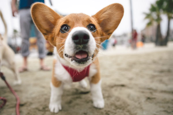 corgi_harvey_body_image_2