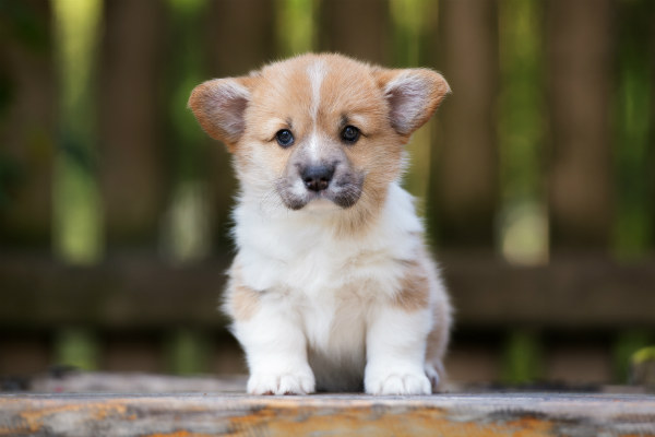 Pembroke Welsh Corgi puppy sitting outdoors.