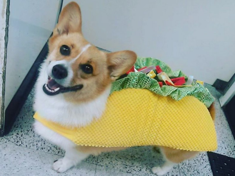 celebrate national taco day with these dogs dressed as tacos