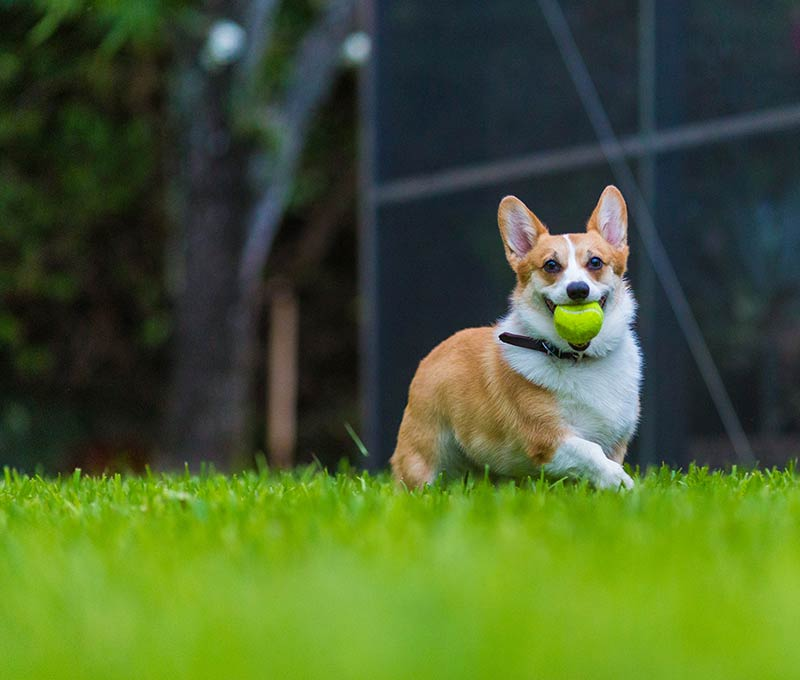 corgi with ball