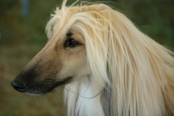 cream black afghan hound