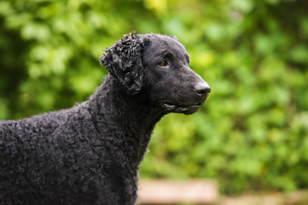 [curly-coated retriever]