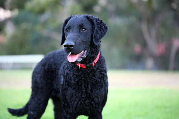 Curly Coated Retriever standing outdoors.
