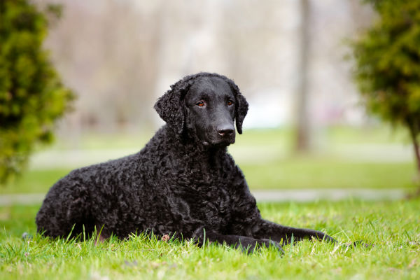 curly-coated retriever 2