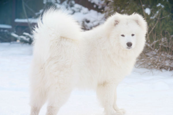 13 Dogs With Curly Tails – American Kennel Club