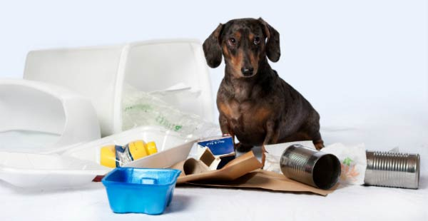 Dachshund and garbage