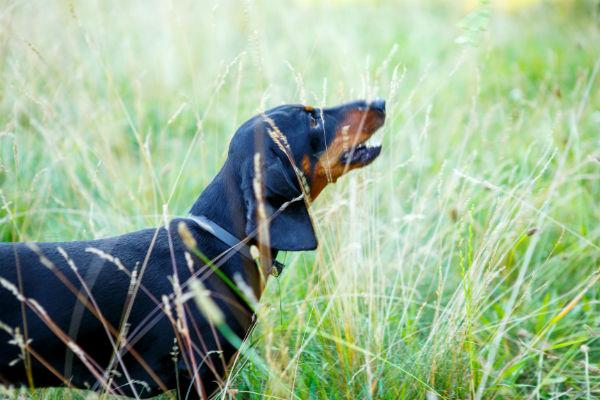 dachshund leash aggresion
