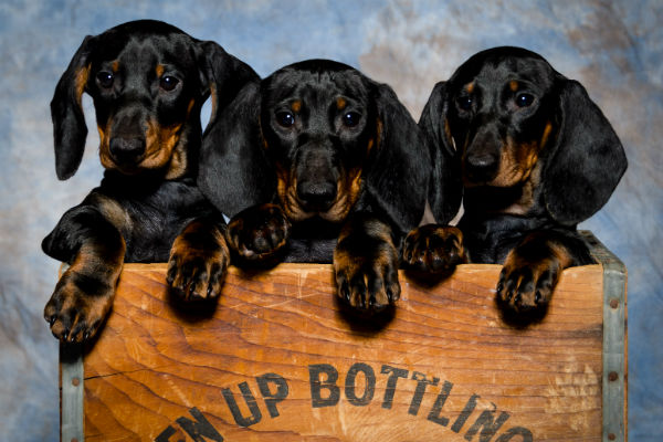 dachshund puppies 1