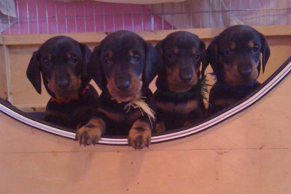 dachshund puppies 2